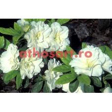 Gardenie cod E26