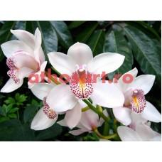 Orhidee cod E66